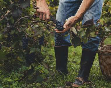Pure and simple – does organic wine taste better?