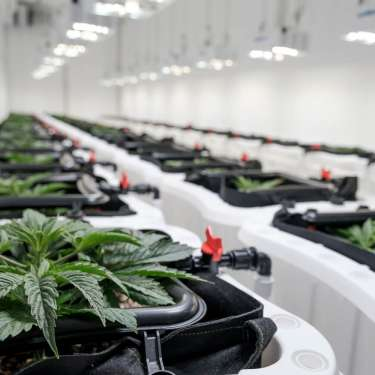 One year on, one approval to sell medicinal cannabis