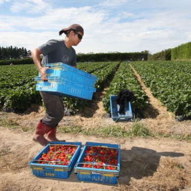 Picking crisis coming for fruit, vegetable growers