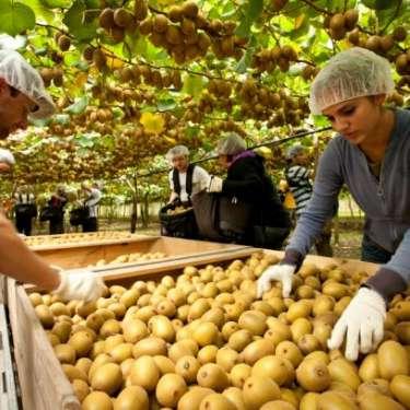 Fruit-picking subsidy flops as Kiwis stay put