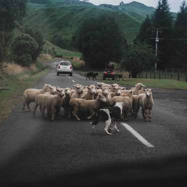 Covid will help slice a quarter off sheep and beef farm returns - B+LNZ